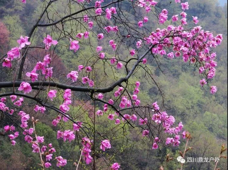3月27日(周三)一天,药王谷赏辛夷花徒步活动公告8.jpg