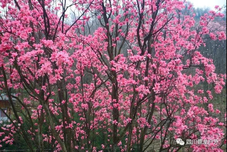 3月27日(周三)一天,药王谷赏辛夷花徒步活动公告5.jpg