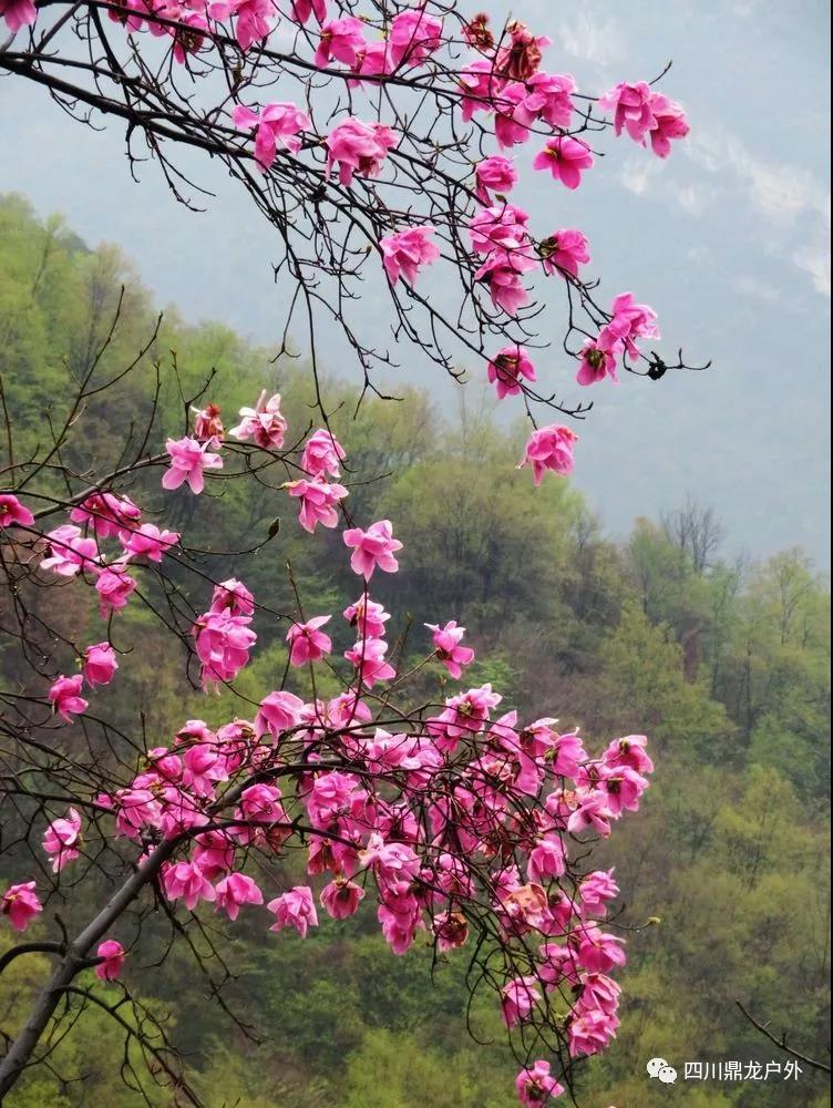 3月27日(周三)一天,药王谷赏辛夷花徒步活动公告7.jpg