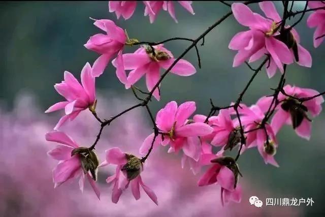3月27日(周三)一天,药王谷赏辛夷花徒步活动公告10.jpg